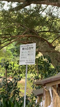 早川 の カヤ