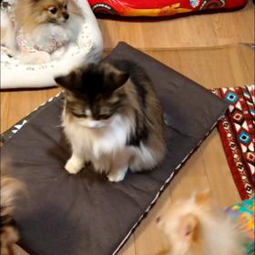 猫と遊ぶポメちゃんの画像