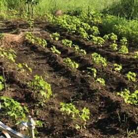盛夏のオープンデー、棉区画の草取りと青柿の果汁染めの画像