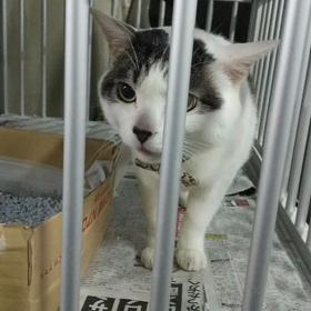 【まだ飼い主見つかりません!】ミナミで迷子のかわいい猫ちゃんの画像